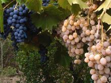 La nostra uva è il segreto dei nostri vini