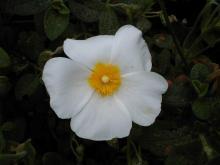 Capita spesso di vedere questo fiore a Montevecchio